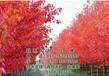 红枫美国红枫图美国红枫树