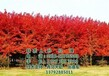 美国红枫树美国红枫树美国红枫树