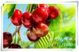 中国大樱桃苗哪里有?