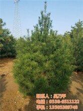 平盛苗圃在线咨询绿化苗木供应绿化苗木