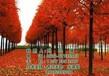 美国红枫树种植美国红枫树美国红枫树