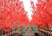 美国红枫价格图,美国红枫,美国红枫
