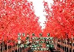 美国红枫树_美国红枫树_美国红枫树种植
