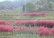 美国红枫树批发_美国红枫树_易合顺物流在线咨询