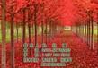 美国红枫树美国红枫树美国红枫树报价