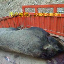 打300斤野猪需要那种电猫捕猎机图片