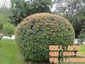 五角枫,平盛苗圃,1米高五角枫苗图片