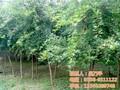 1米高五角枫苗五角枫平盛苗圃图片