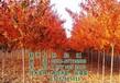 美国红枫树_美国红枫树图_美国红枫树