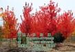 美国红枫树,美国红枫树图,美国红枫树报价