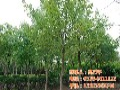 平盛苗圃图1米高五角枫苗五角枫图片
