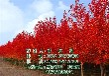 美国红枫树,美国红枫树,美国红枫树出售