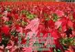 美国红枫_美国红枫价格_美国红枫种植