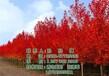 美国红枫树美国红枫树图美国红枫树电话