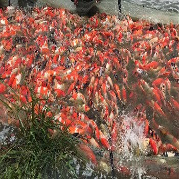 日本锦鲤鱼苏州鱼场