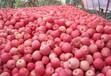 山西紅富士蘋果,現需蘋果收購商
