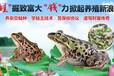泰蛙杂交9号生态养殖招商加盟