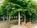 五角枫平盛苗圃1米高五角枫苗图片