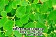 北京辣木厂家北京辣木迈多生物科技