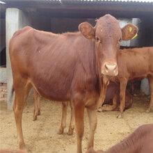 养牛场利木赞牛养殖效益好生长快图片