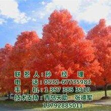 美国红枫价格图_美国红枫电话_美国红枫
