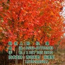 美国红枫价格图美国红枫种植美国红枫