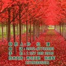 美国红枫美国红枫价格美国红枫批发