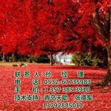 美国红枫,美国红枫价格图,美国红枫销售