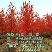 美国红枫树图_美国红枫树批发_美国红枫树
