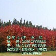 美国红枫树图,美国红枫树价格,美国红枫树