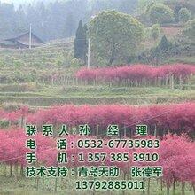 美国红枫树图_美国红枫树种植_美国红枫树
