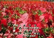 美国红枫树出售,美国红枫树,美国红枫树