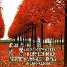 美国红枫_美国红枫价格图_美国红枫出售