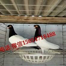 新疆元寶鴿一對多少錢元寶鴿好養嗎圖片