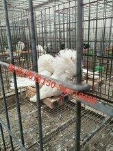 河北元宝鸽价格/元宝鸽出售、种鸽出售图片