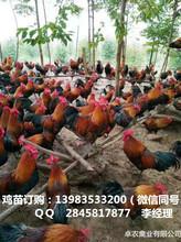 涪陵香鸡苗最近养殖前景涪陵香鸡苗供应市场