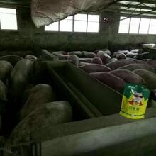 怎样养猪才能赚钱猪吃什么长得快就用育肥猪白金肽图片