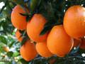 安远赣南脐橙纯天然无添加图片