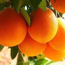 牛牛水果店專售贛南臍橙純天然農家特產