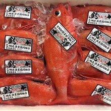 广州喜知次冰鲜金吉鱼批发刺身料理食材