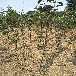 4公分绿宝石梨树苗