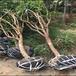 海南5公分映霜红桃树苗