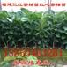 红皮柚子树苗价格