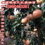 黄肉蜜柚树苗基地图片