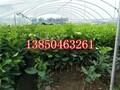 三红蜜柚苗基地图片