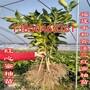黄肉蜜柚苗图片