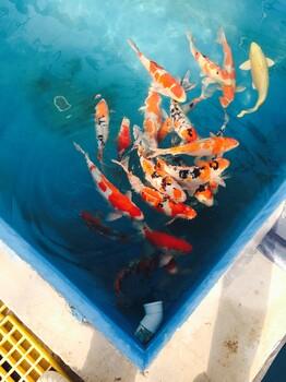 观赏鱼锦鲤苏州鱼场