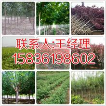 林州周边销售梨树苗培育基地158-3619-8602