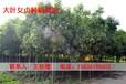 孟州周围销售3公分国槐育苗基地158-3619-8602