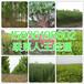 沁阳市周边销售5公分栾树育苗基地158-3619-8602